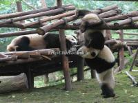 Pandas Are Playing in Chengdu Panda Base