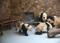 Giant Pandas Bedroom at Chengdu Research Base of Giant Panda Breeding