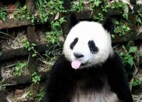 Naughty Giant Panda at Chengdu Research and Breeding Center