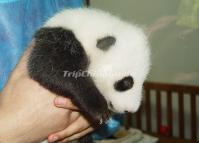 Baby Panda Chengdu Panda Research Base