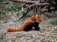 Chengdu Research Base of Giant Panda Breeding Red Panda