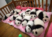 Lovely Baby Pandas Sleeping at Chengdu Base