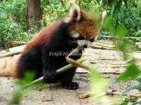 A Red Panda in Chengdu Research Base of Giant Panda Breeding