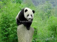 A Lovely Panda in Chengdu Panda Base