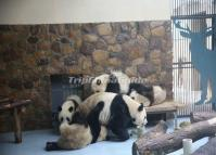 Attractive Giant Pandas at Chengdu Research Base