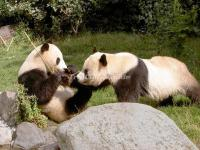 Giant Pandas in Chengdu Research Base of Giant Panda Breeding