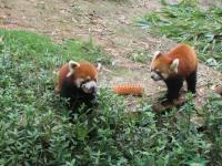 Chengdu Research Base of Giant Panda Breeding  Red Pandas