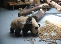 Giant Pandas Food Chengdu Research Base of Giant Panda Breeding