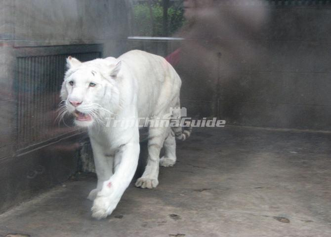 Chengdu Zoo-White Tiger