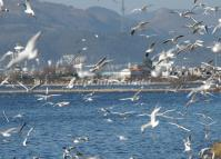 The Seagulls in Dianchi Lake Kunming