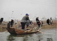Cormorants Fishing Erhai Lake China