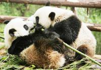 10-day China Giant Panda Tour