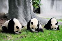 3-day Chengdu Giant Panda Tour