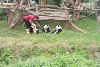 5-day Bifengxia Panda Base Volunteer Tour
