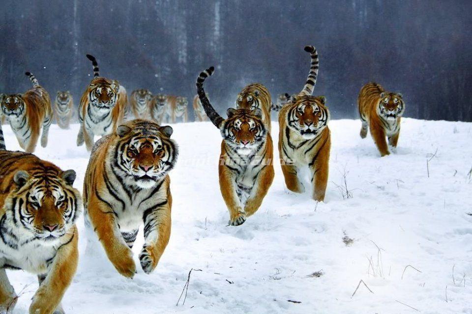 Harbin Siberian Tiger Park In Winter Harbin Siberian