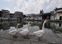 Goose at Hongcun Village Huangshan City