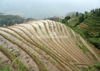 Attractive Rice Terrace at Guilin