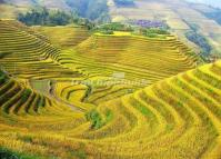 Longji Rice Terrace Autumn Scenery