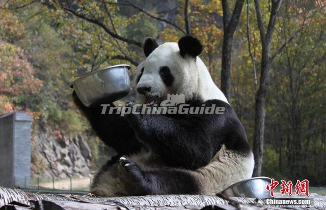 Qinling Mountains Giant Panda