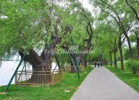 The Ancient Willows on the West Dyke in Beijing Summer Palace