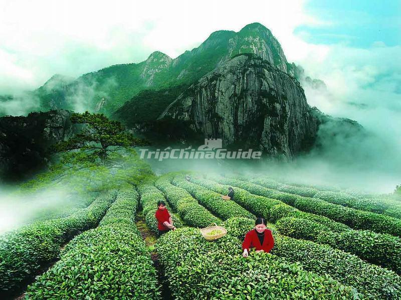 A Beautiful Tea Plantation in Mount Wuyi