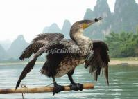Cormorant Fishing in Yangshuo